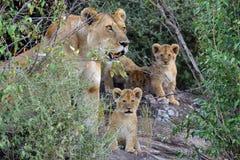 African lion cub. (Panthera leo), National park of Kenya, Africa Stock Photos