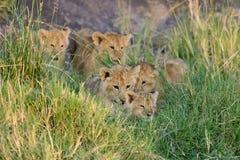 African lion cub. (Panthera leo), National park of Kenya, Africa Royalty Free Stock Photo