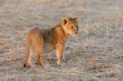 African lion cub. (Panthera leo), National park of Kenya, Africa Royalty Free Stock Images