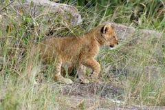 African lion cub. (Panthera leo), National park of Kenya, Africa Royalty Free Stock Photography