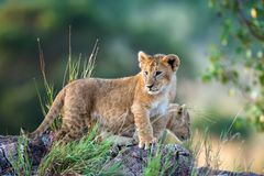 Lion cub on stone. African Lion cub, Panthera leo, National park of Kenya, Africa royalty free stock image