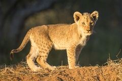 African Lion Cub (Panthera Leo) South Africa Stock Images
