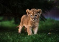African Lion cub, South Africa royalty free stock photography