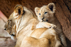 African lion cub resting on his mother Stock Photos