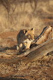 African Lion Cub running Stock Photography