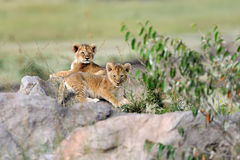 African lion cub Royalty Free Stock Photography