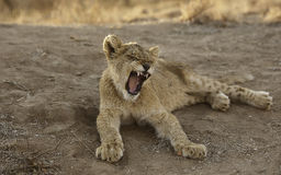 African Lion Cub. Yawning Wide African Lion Cub Royalty Free Stock Images
