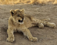 African Lion Cub. Young snarling African lion cub Stock Photography
