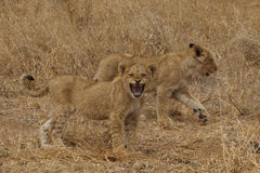 African Lion cubs Royalty Free Stock Photos