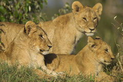 African lion cubs. In the Masai Mara National Reserve in Kenya Royalty Free Stock Image