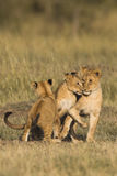 African lion cubs Stock Images