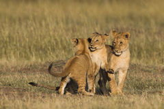 African lion cubs Stock Photography