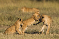Free African Lion Cubs Royalty Free Stock Photography - 38378247