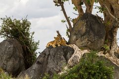 African lion cubs Panthera leo on a rock Stock Images