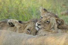 African Lion Cubs (Panthera leo) South Africa stock photo