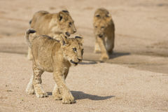 African Lion Cubs (Panthera leo) South Africa Stock Images