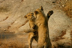 African lion cubs playing. Two African lion cubs playing Royalty Free Stock Image
