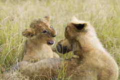 African Lion cubs playing Stock Images