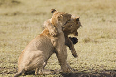 African lion cubs Royalty Free Stock Photo