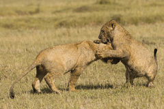 African lion cubs playing Stock Photo