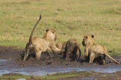 African lion cubs Stock Photos