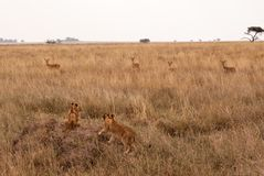 African lion cubs on termite hill stock image