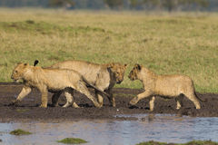 African lion cubs Royalty Free Stock Images