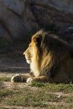 African Lion at Denver Zoo Stock Photos