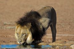 African lion drinking Stock Photography