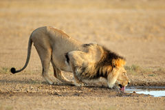 African lion drinking. Big male African lion (Panthera leo) drinking water, Kalahari, South Africa Royalty Free Stock Photography