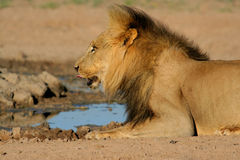 African lion drinking Stock Images