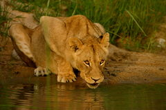 African Lion Drinking. A young female African lion comes to a waterhole Stock Photo