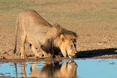 African lion drinking Stock Photos