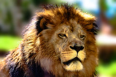 African lion face Stock Photo