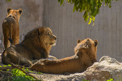 African Lion Family Royalty Free Stock Photos