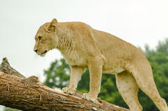 African Lion female Stock Photos