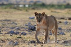 Lion female look curious, etosha nationalpark, namibia Stock Photos
