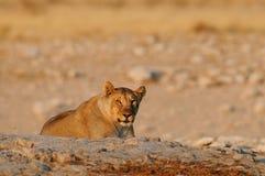 Lion female look curious, etosha nationalpark, namibia Royalty Free Stock Image