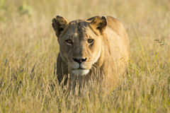 African Lion female (Panthera leo) South Africa Royalty Free Stock Photography