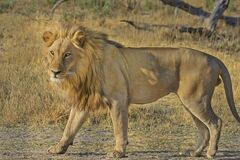 African lion in field, Botswana