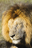 African lion  with flies swamp all over his face Royalty Free Stock Image