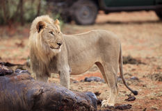 African lion going to feed. With rhino meat. South Africa Stock Photography
