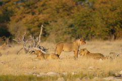 African lion group look curious, etosha nationalpark stock images