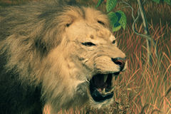 African lion head Royalty Free Stock Image