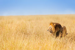 African lion hunting at wide spread of prairie Stock Image