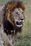 African Lion in Kenya Royalty Free Stock Photography