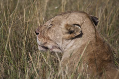 African Lion in Kenya Stock Photo