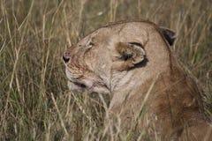 African Lion in Kenya Stock Photo