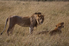 African Lion in Kenya Royalty Free Stock Photo