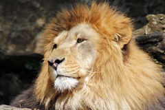 The African lion king of the beasts. Lazy African lion looking portrait Royalty Free Stock Image